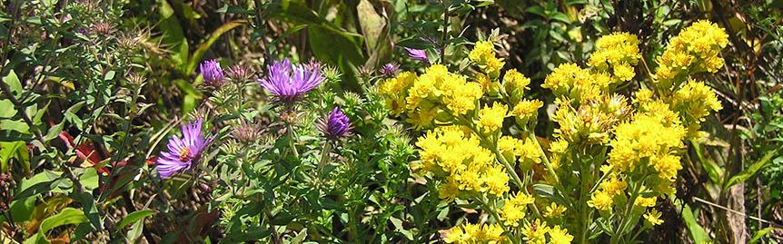 New England aster with rigid leaf goldenrod